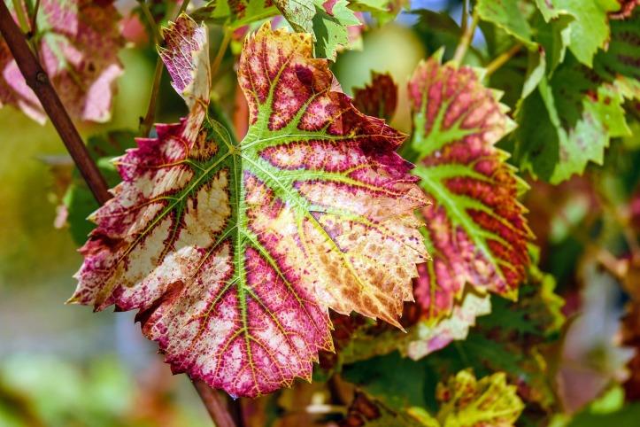wine-leaf-1720133_1920