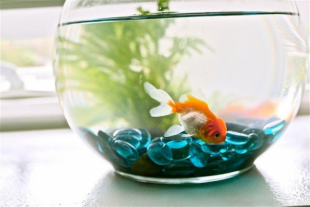 small-freshwater-aquarium-fish