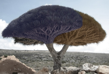 Socotra_dragon_tree back and forth
