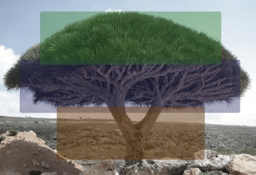 Socotra_dragon_tree proportions