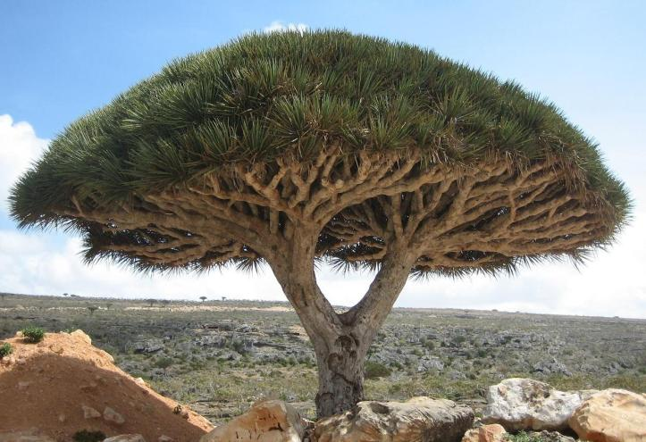 Socotra_dragon_tree.jpg