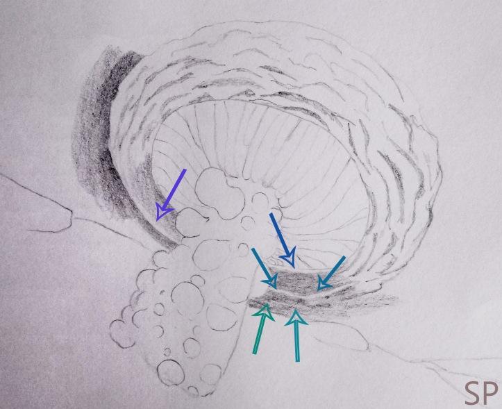 mushroom drawing step 3.jpg