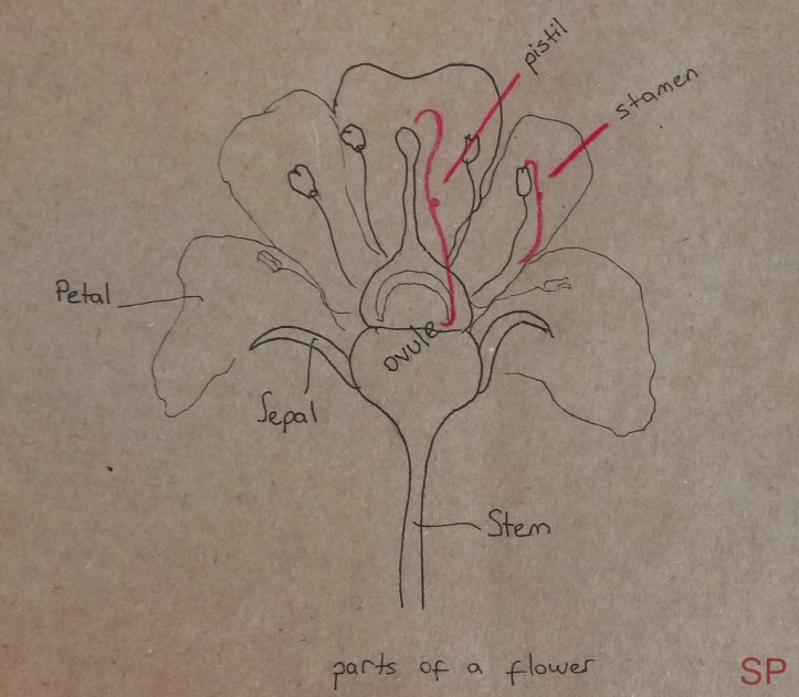 parts of a flower drawing