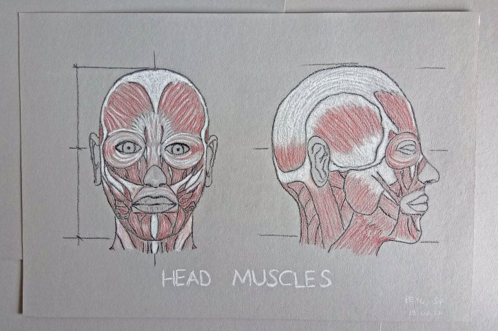 head muscles drawing