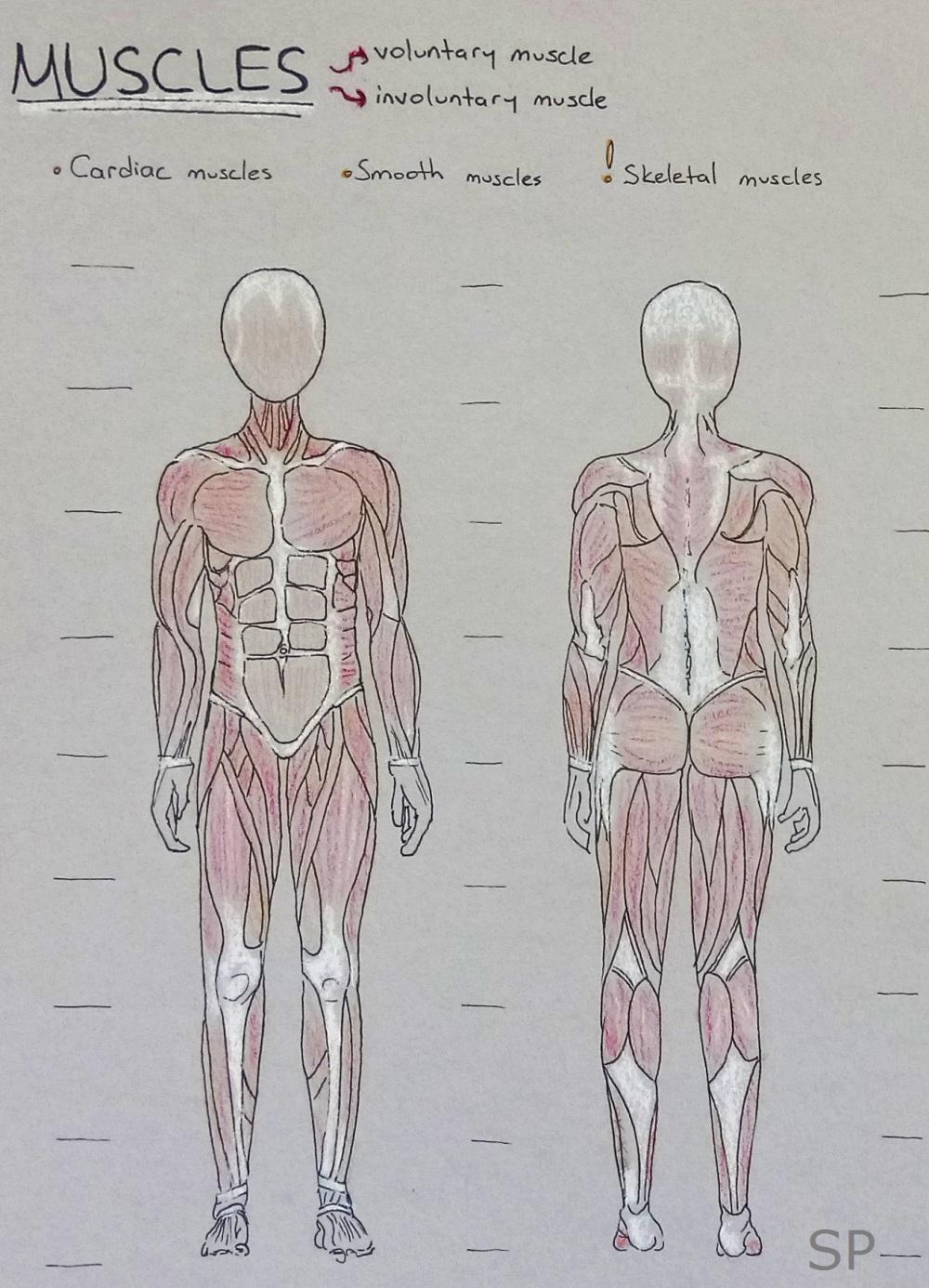 muscle drawing body.jpg