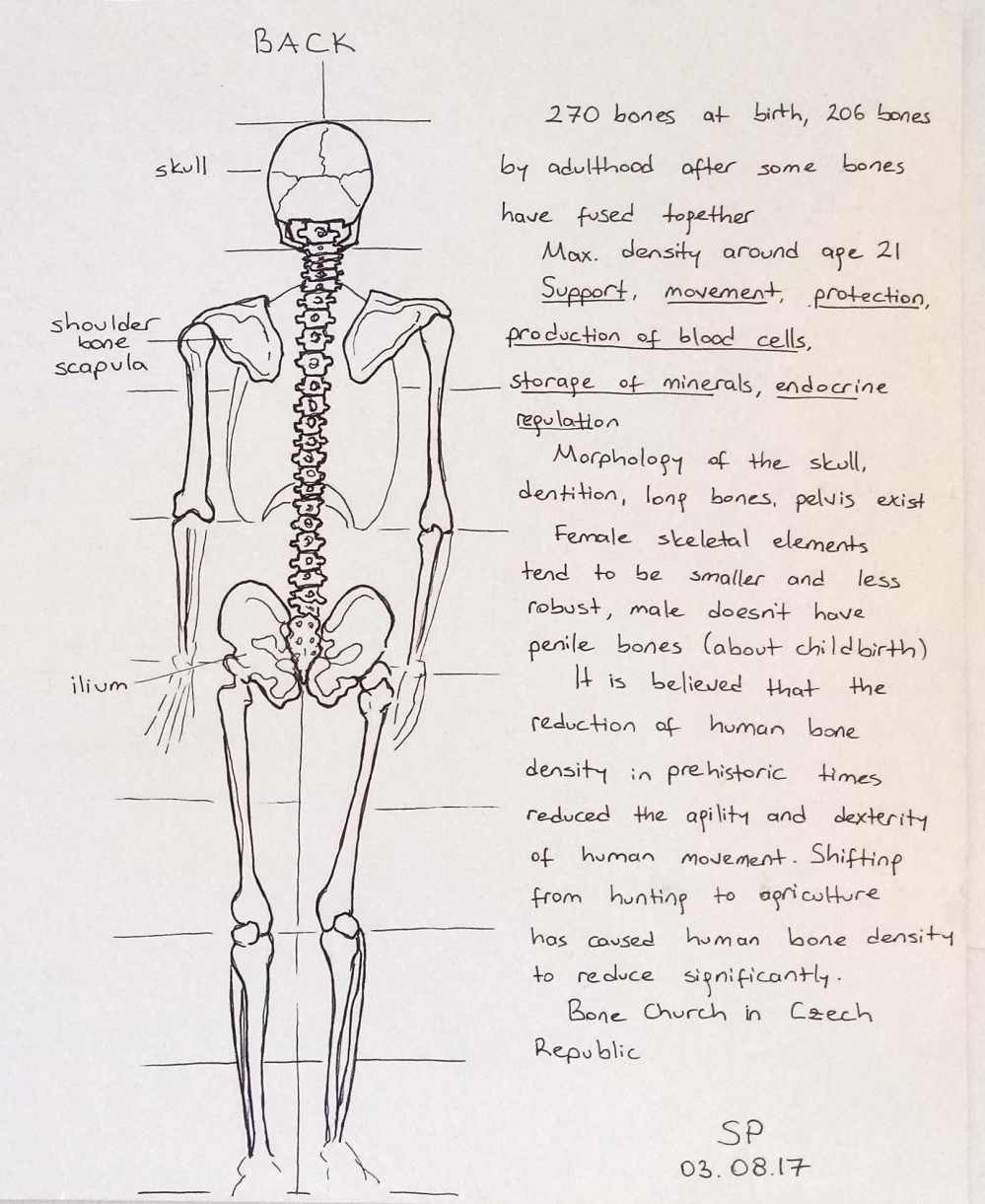 skeleton drawing back