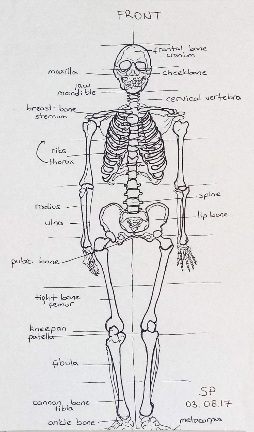 skeleton drawing front