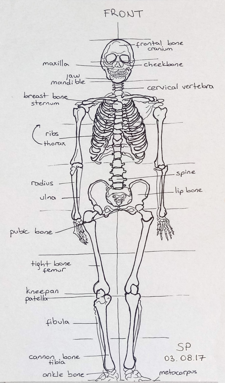 skeleton drawing front