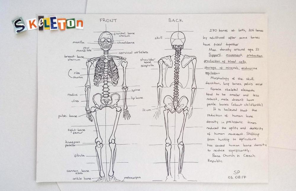 skeleton drawing with bone names.jpg