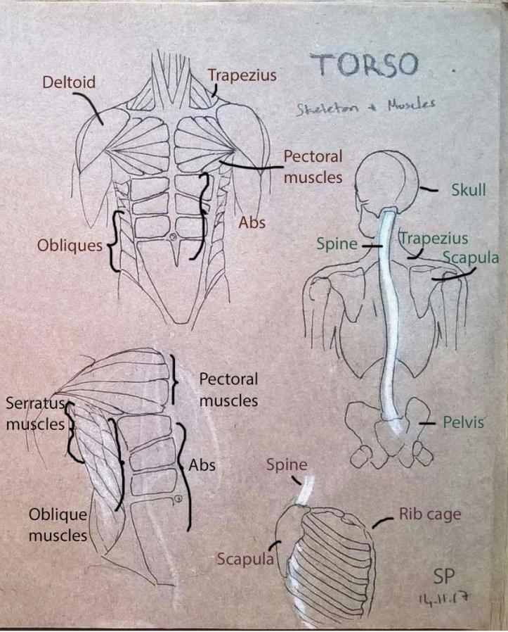 torso muscle drawing 2