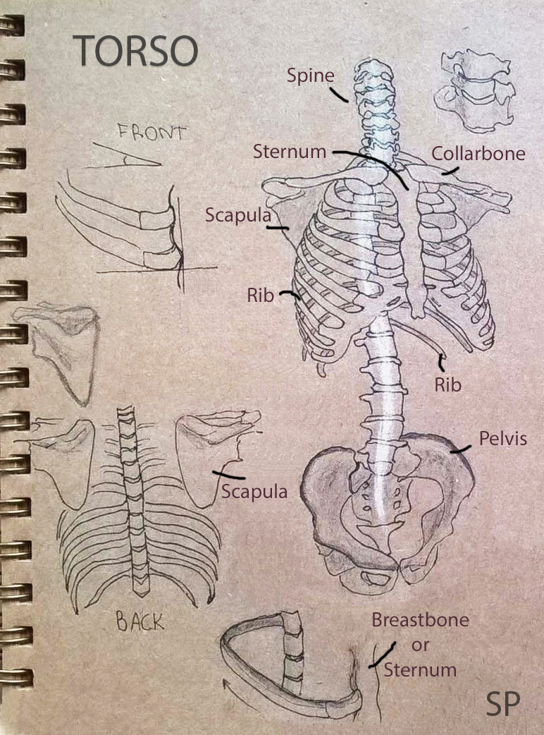 torso skeleton drawing 2