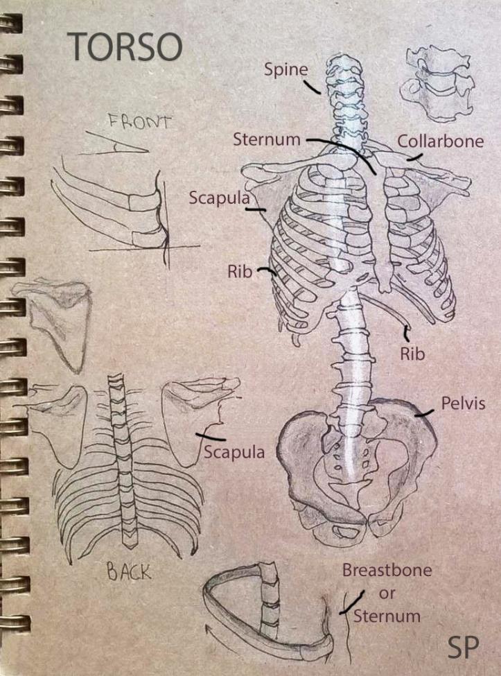 torso skeleton drawing 2