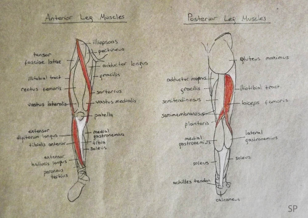 anterior and posterior leg muscles