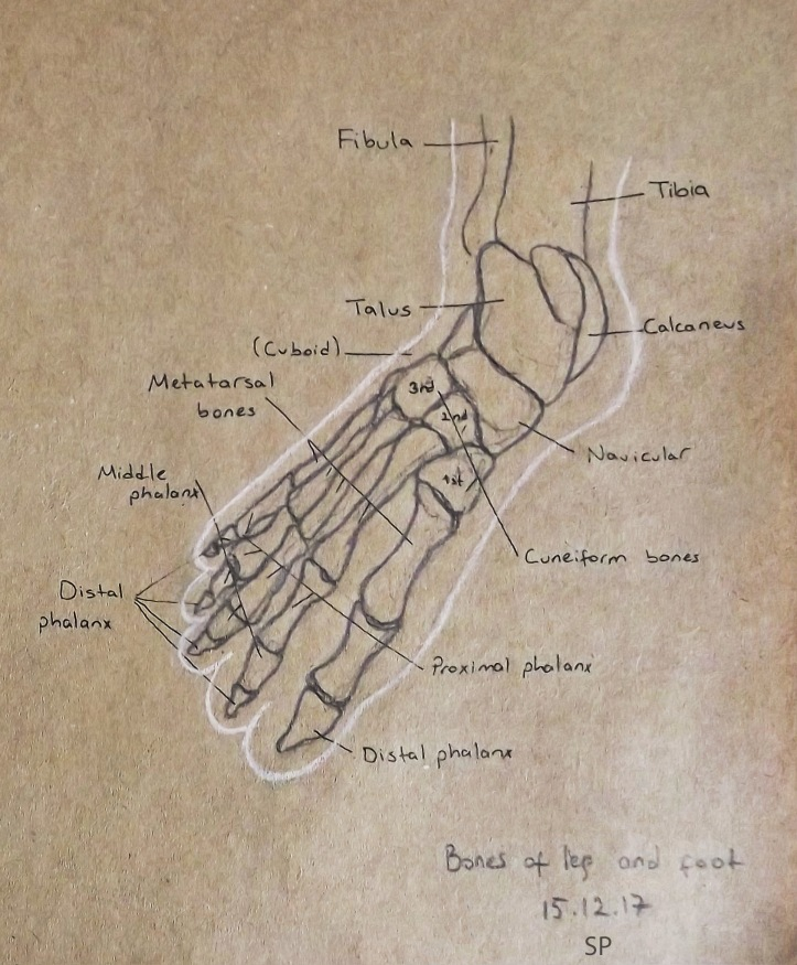 bones of foot drawing