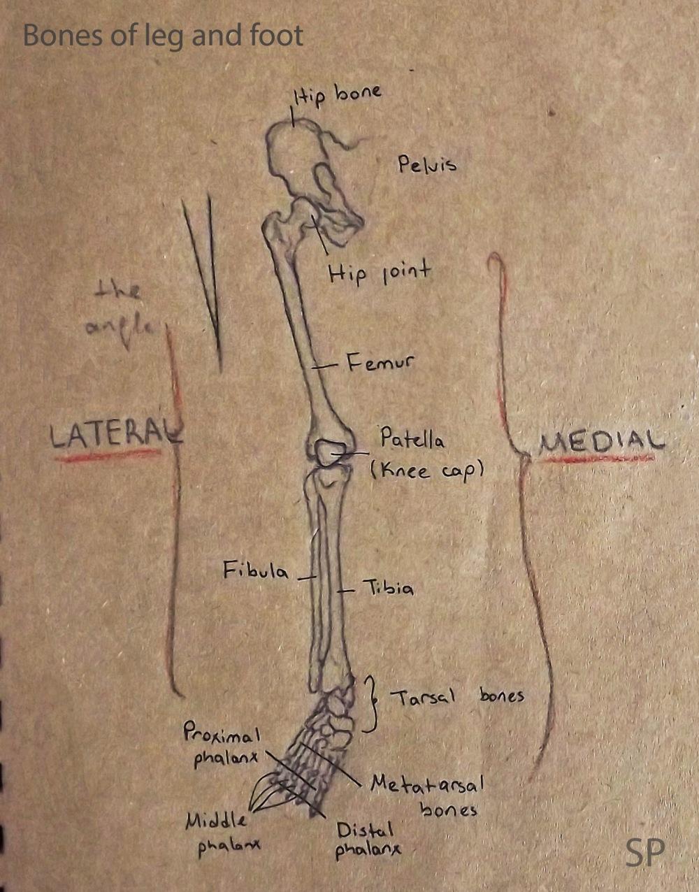 bones of leg and foot drawing