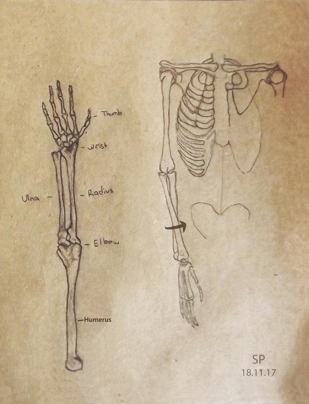 hand and arm skeleton 3.jpg