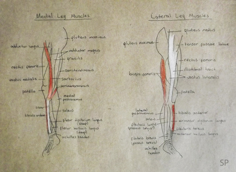 medial and lateral leg muscles