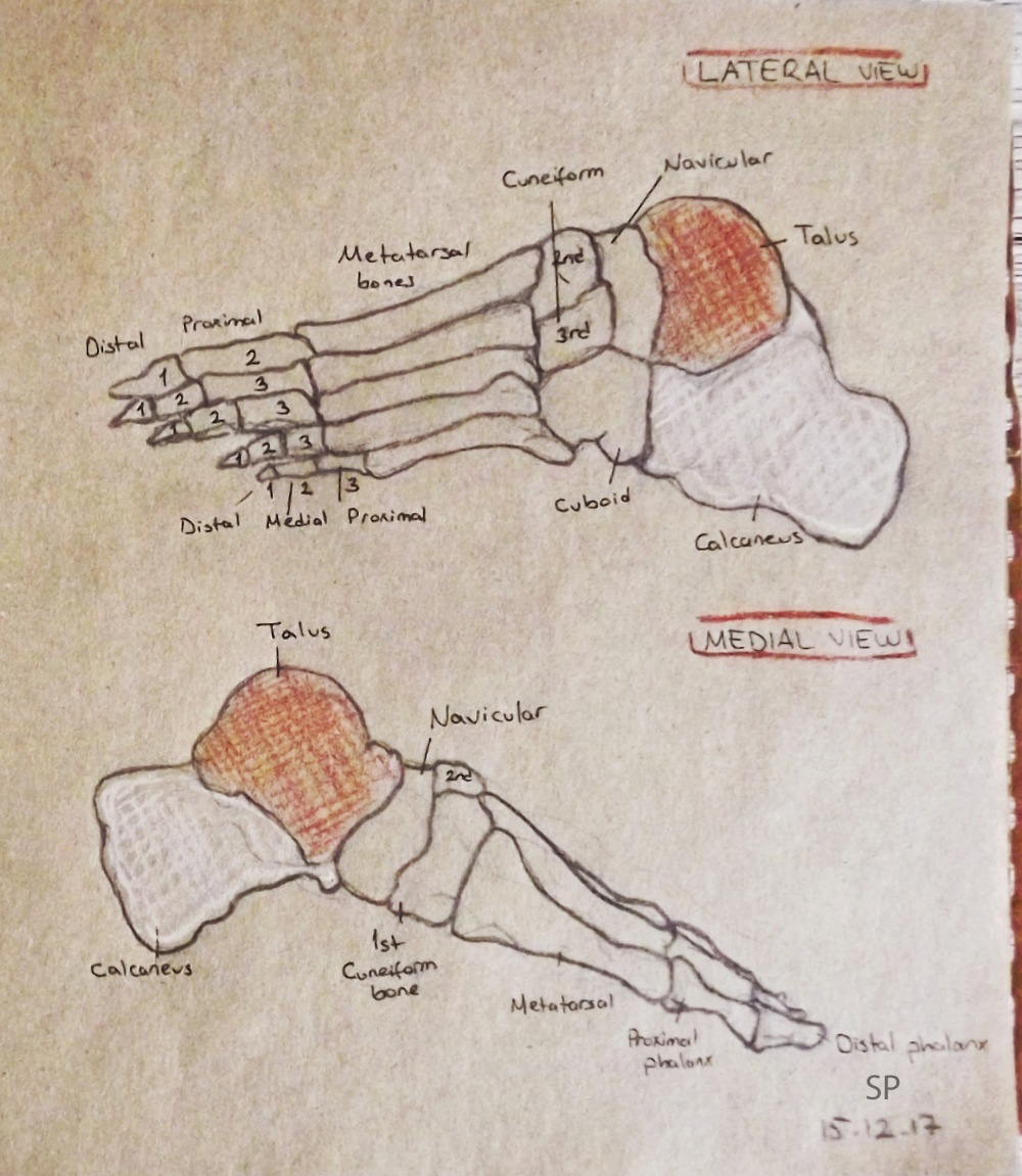 medial and lateral views of foot