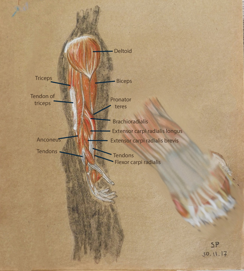 muscles of hand and arm