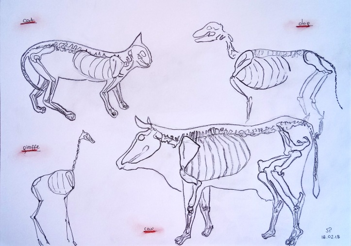 animal anatomy drawings