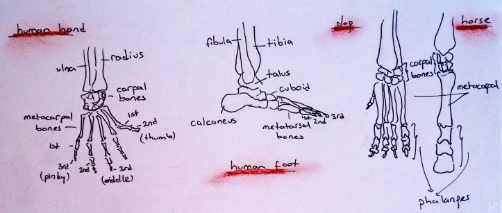 human animal foot