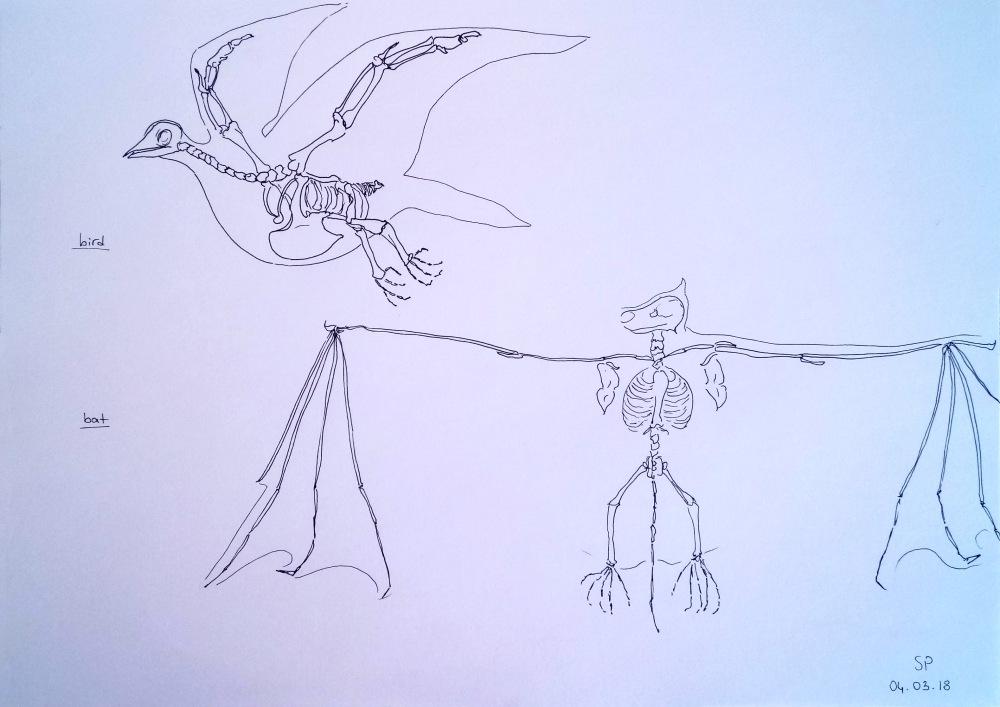 bird and bat skeletons