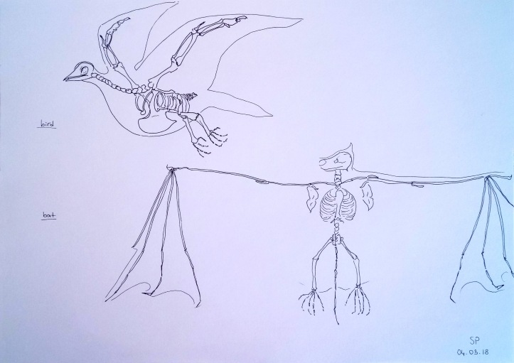 bird and bat skeletons