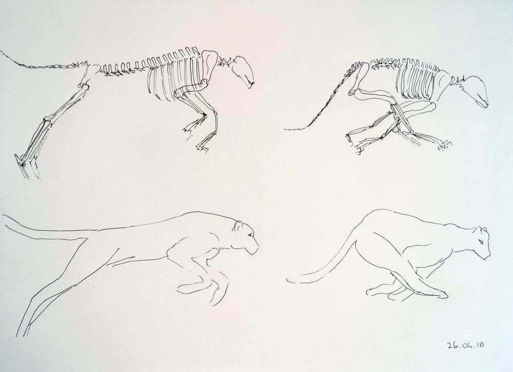cheetah jump and skeleton