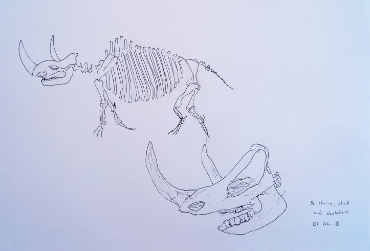rhino skull and skeleton drawing